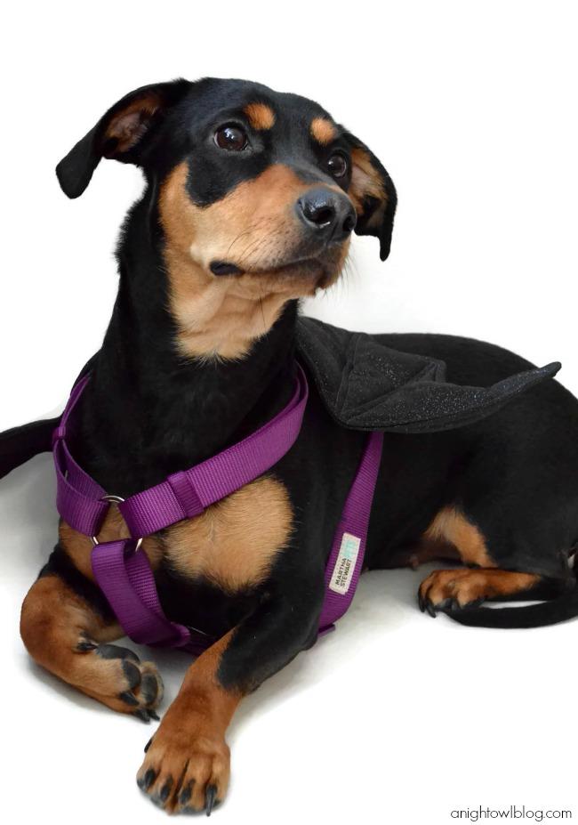 Martha Stewart Pets Bat Wing Harness from PetSmart #MarthaStewartPets